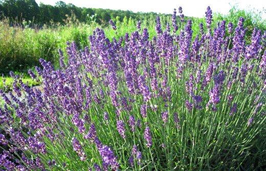 استفاده از ژن اسطوخدوس در تولید گیاهان تراریخته ضدآفت